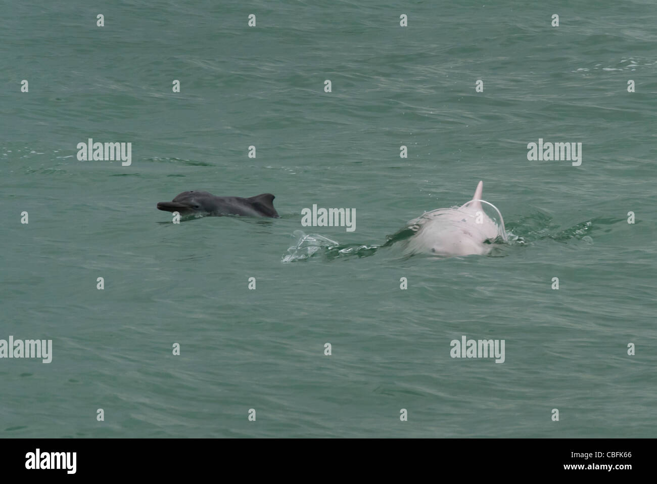 Indo-Pacific Humpback Dolphin (Sousa chinensis), adult female & calf surfacing. Hong Kong, Pearl River Delta. - Stock Image