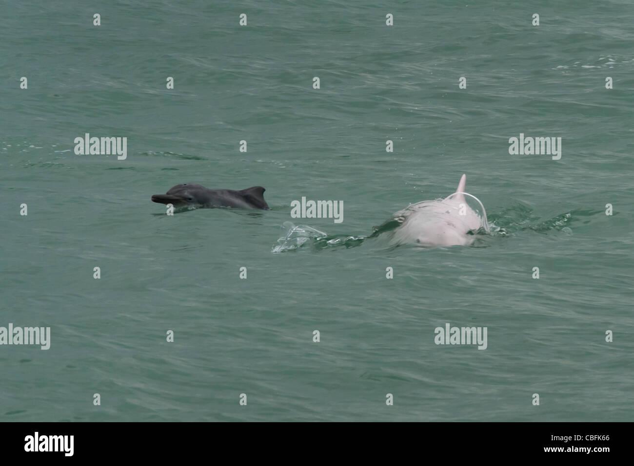 Indo-Pacific Humpback Dolphin (Sousa chinensis), adult female & calf surfacing. Hong Kong, Pearl River Delta. Stock Photo