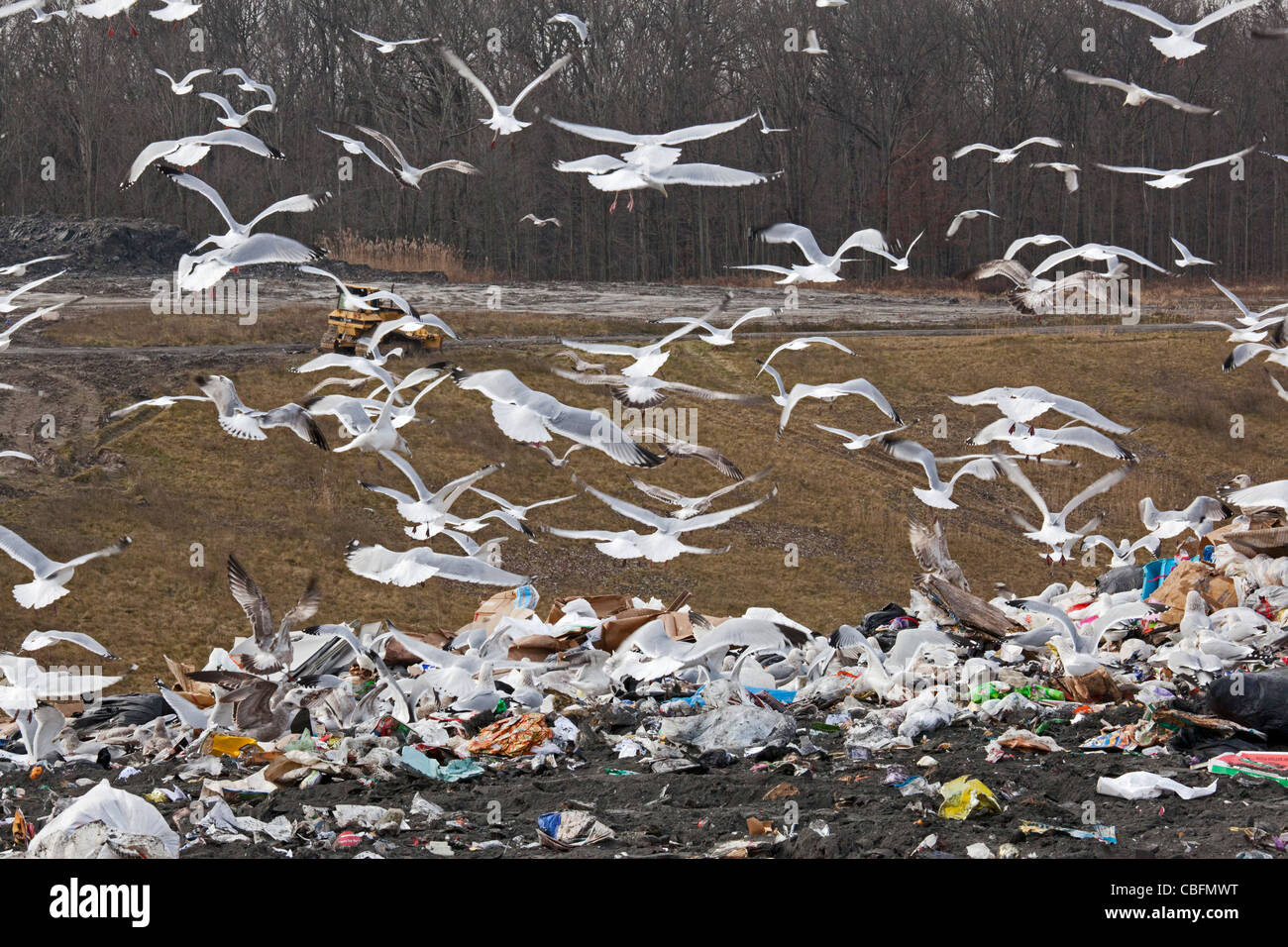 Smith's Creek, Michigan - Gulls swarm around garbage in a landfill. - Stock Image
