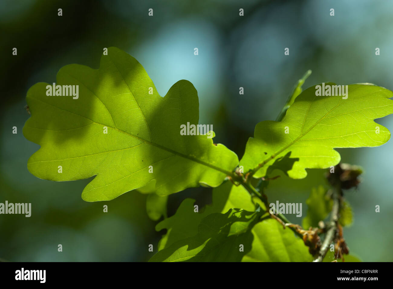 Oak leaves (Quercus robur). Spring. May. Norfolk. Stock Photo