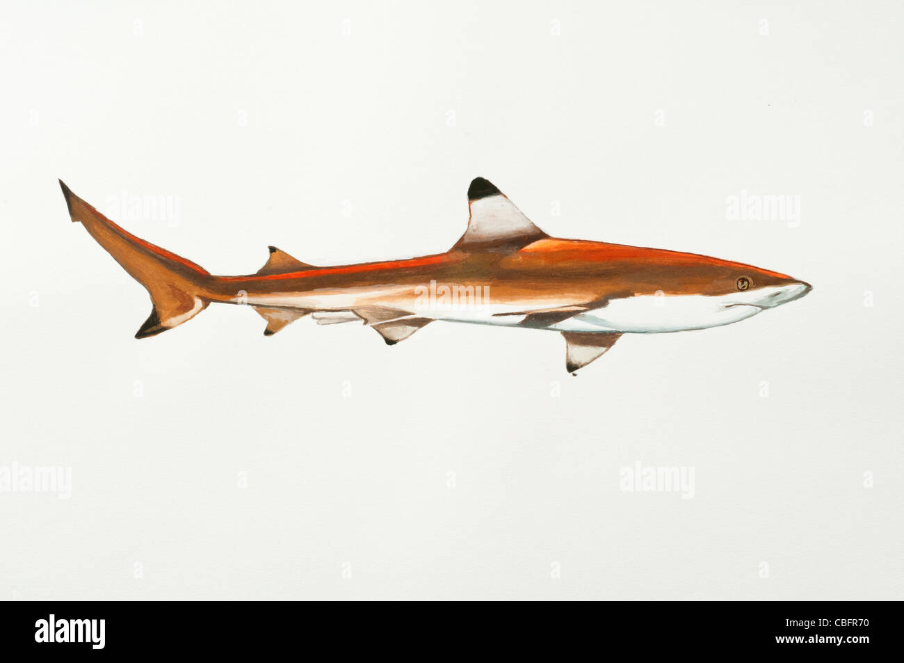 Blacktip reef shark Carcharhinus melanopterus Carcharhinidae Stock Photo