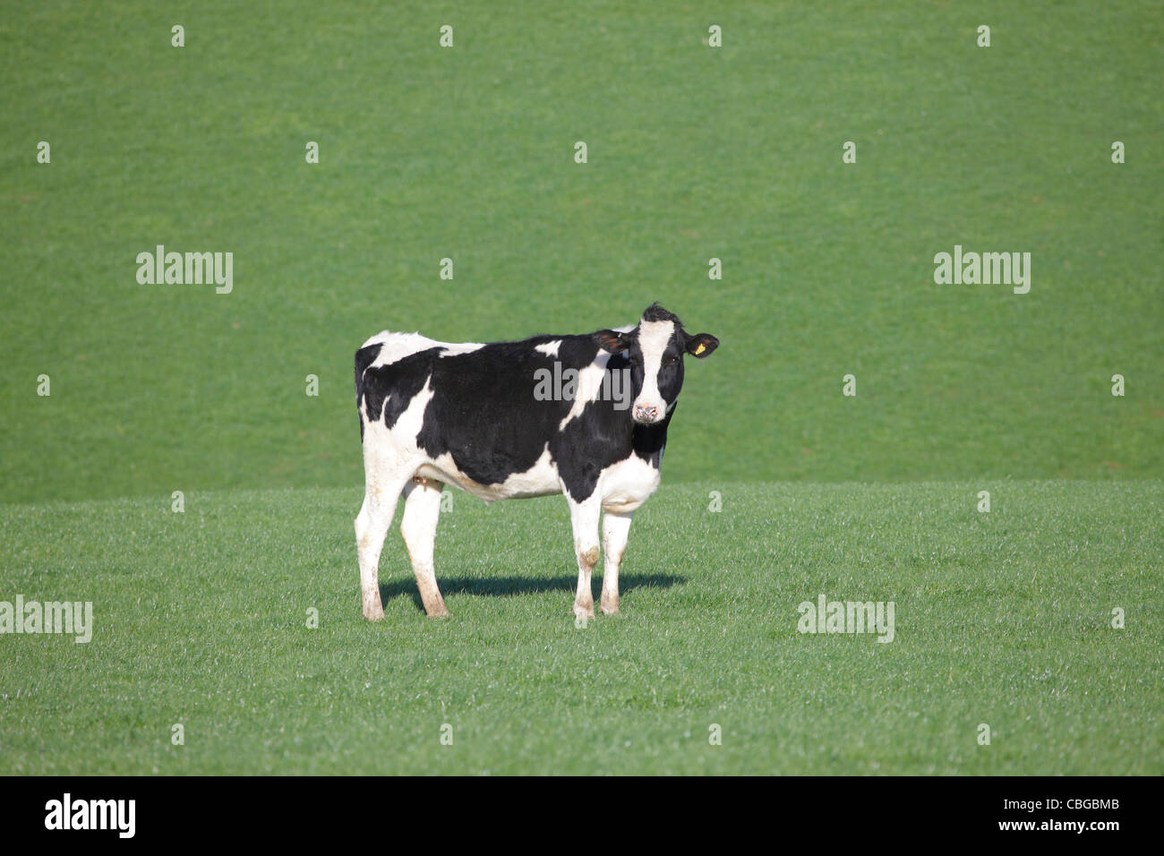 Cow on a green grass background near Lazonby, Penrith, Eden Valley, Cumbria, England UK - Stock Image