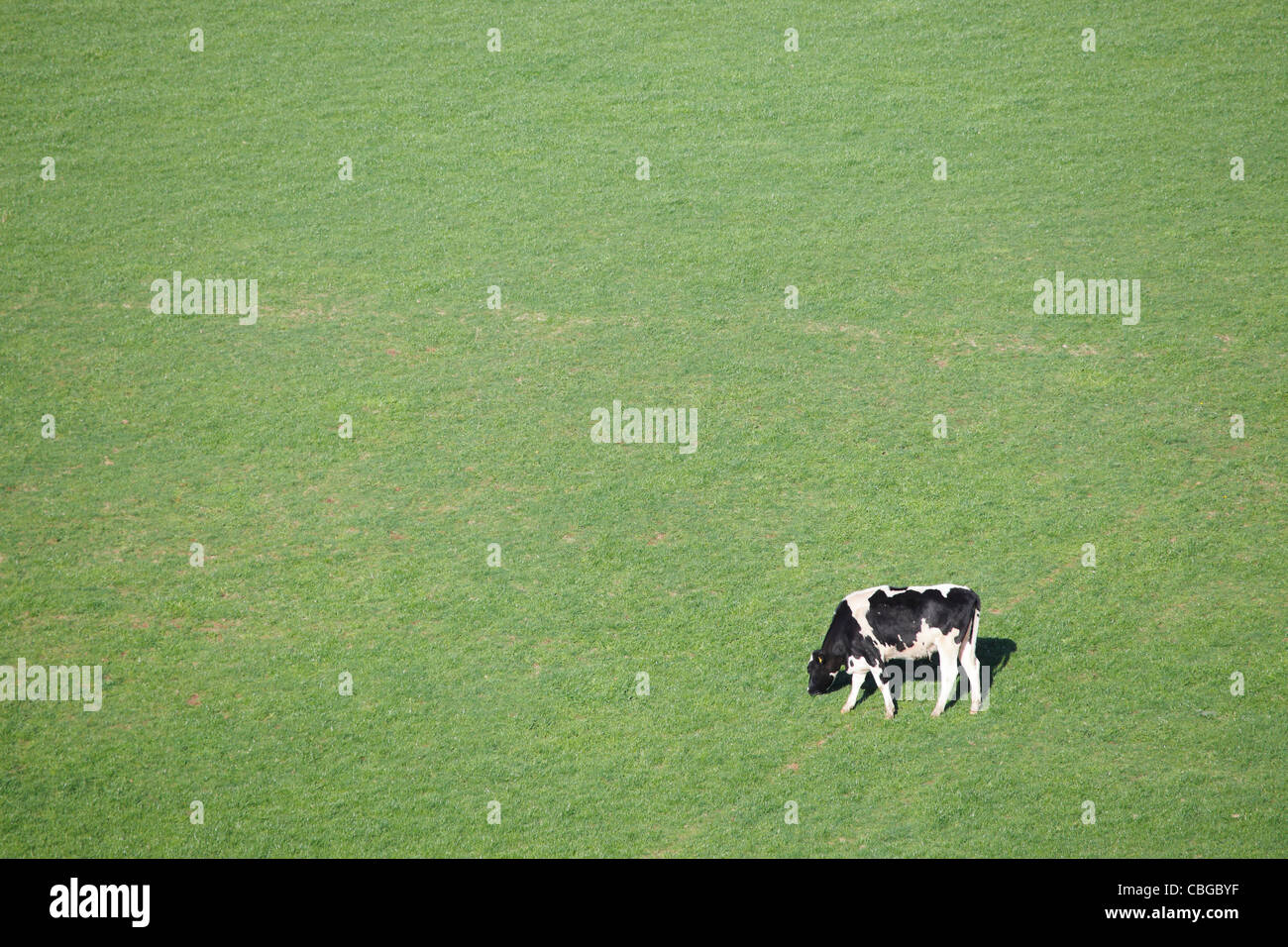 Cow grazing on a green grass background near Lazonby, Penrith, Eden Valley, Cumbria, England UK - Stock Image