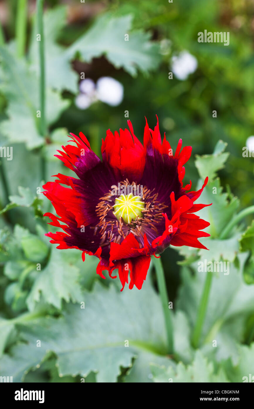 A close up of a bright red Ragged poppy - Stock Image