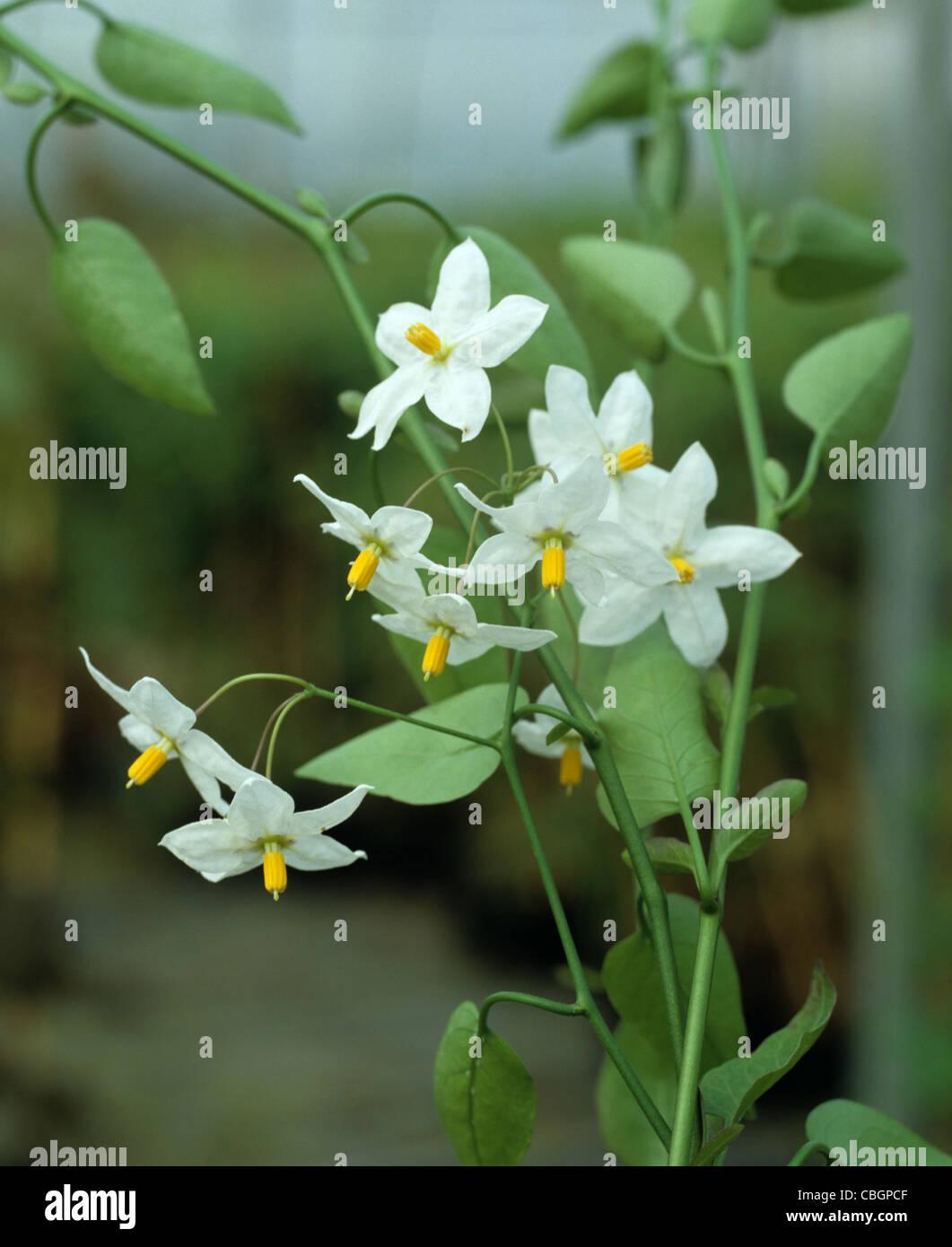 Jasmine Nightshade (Solanum jasminoides album) Flower - Stock Image