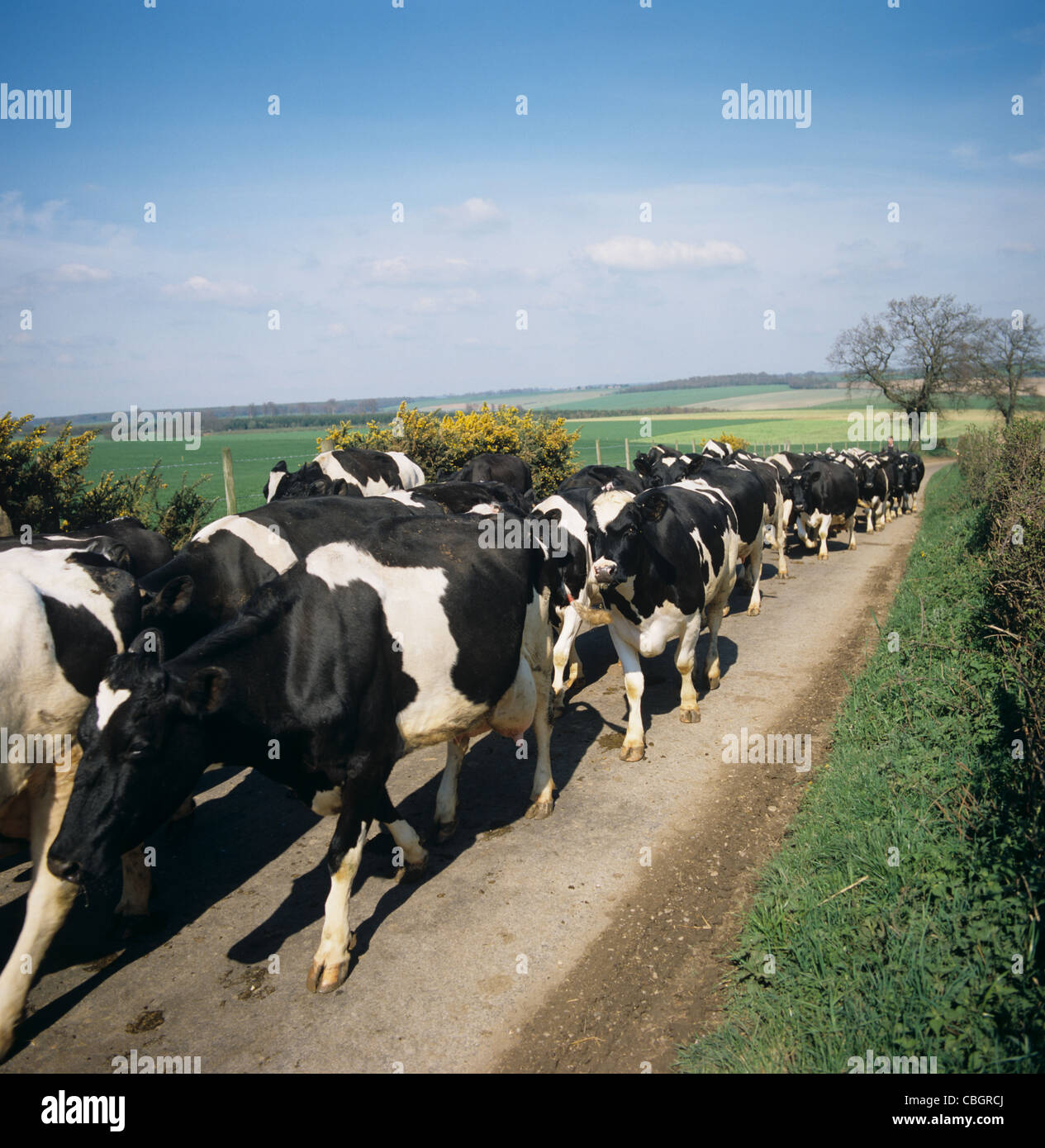 Holstein Friesian cows walking down country road to milking - Stock Image