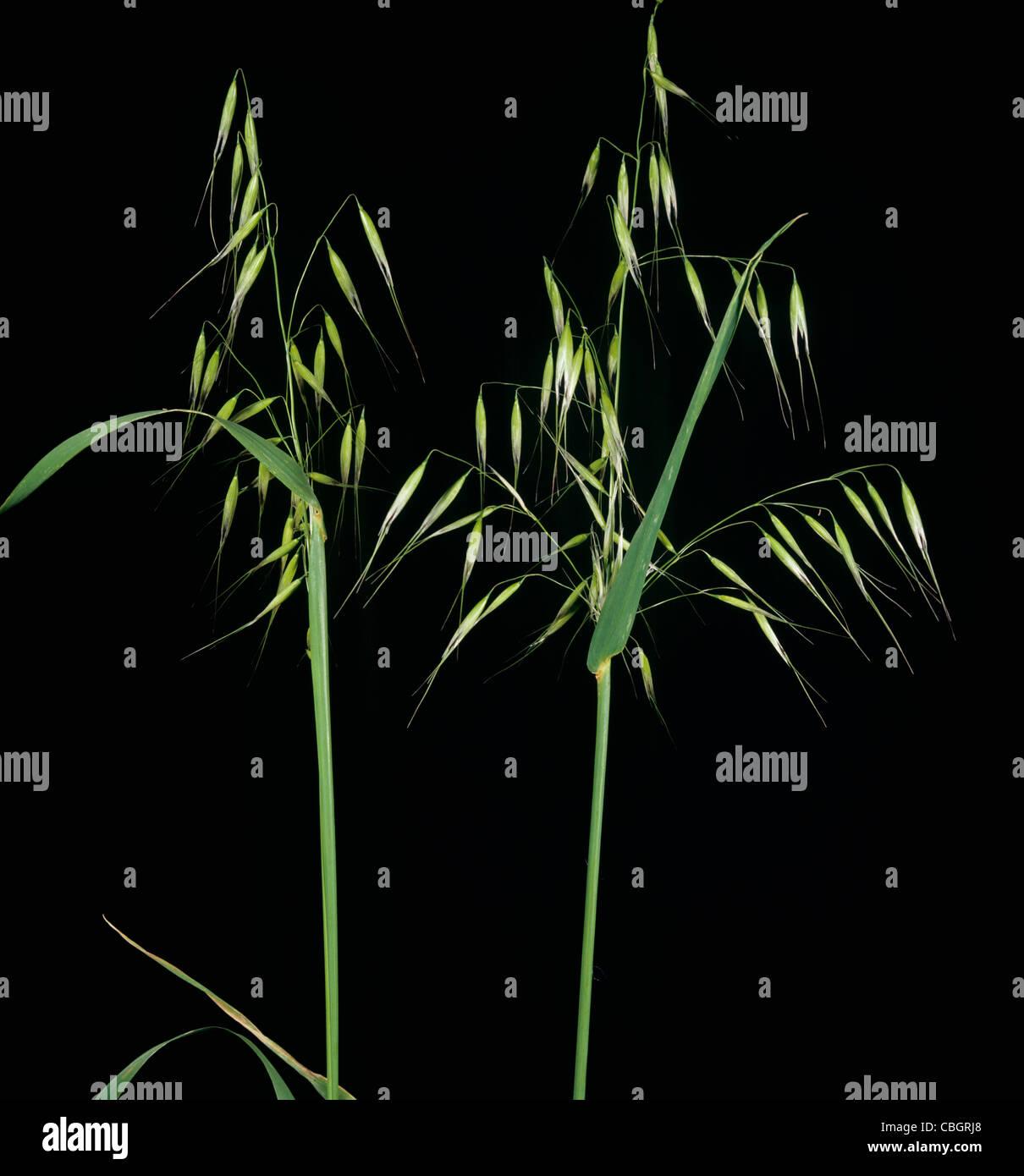 Wild oats (Avenua fatua) panicles against a studio black background Stock Photo