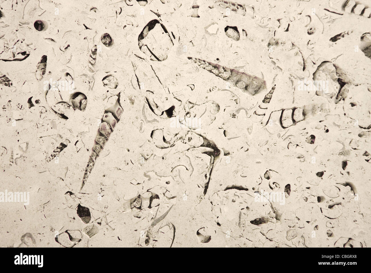 Portland roach stone polished to reveal a rich fossil content of gastropods and bivalves from the Jurassic era - Stock Image