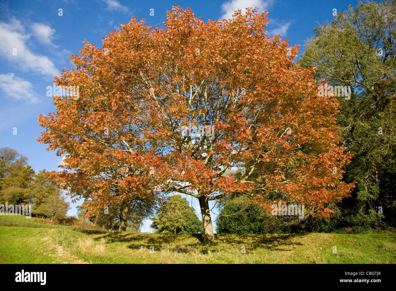 Turkey Oak Quercus cerris in autumn at Ashton Court near Bristol UK - Stock Image