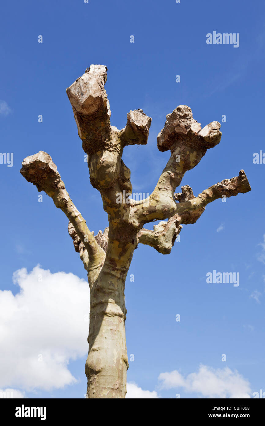 Pollarded tree, cut back in spring - Stock Image