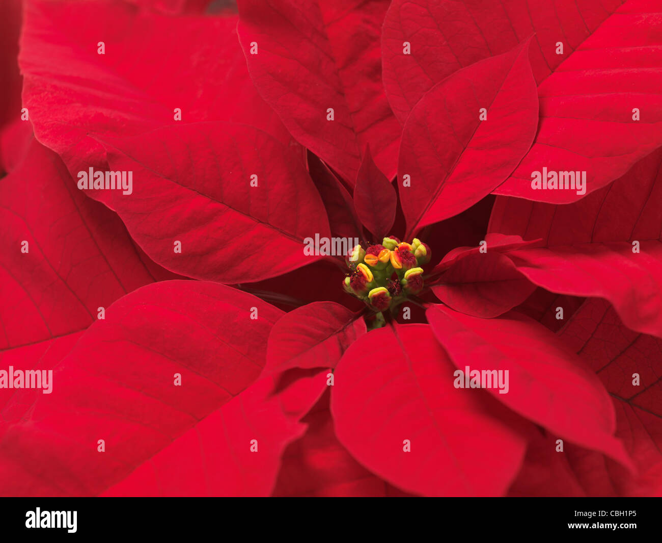 Closeup of Poinsettia - red Christmas flower leaves abstract background - Stock Image