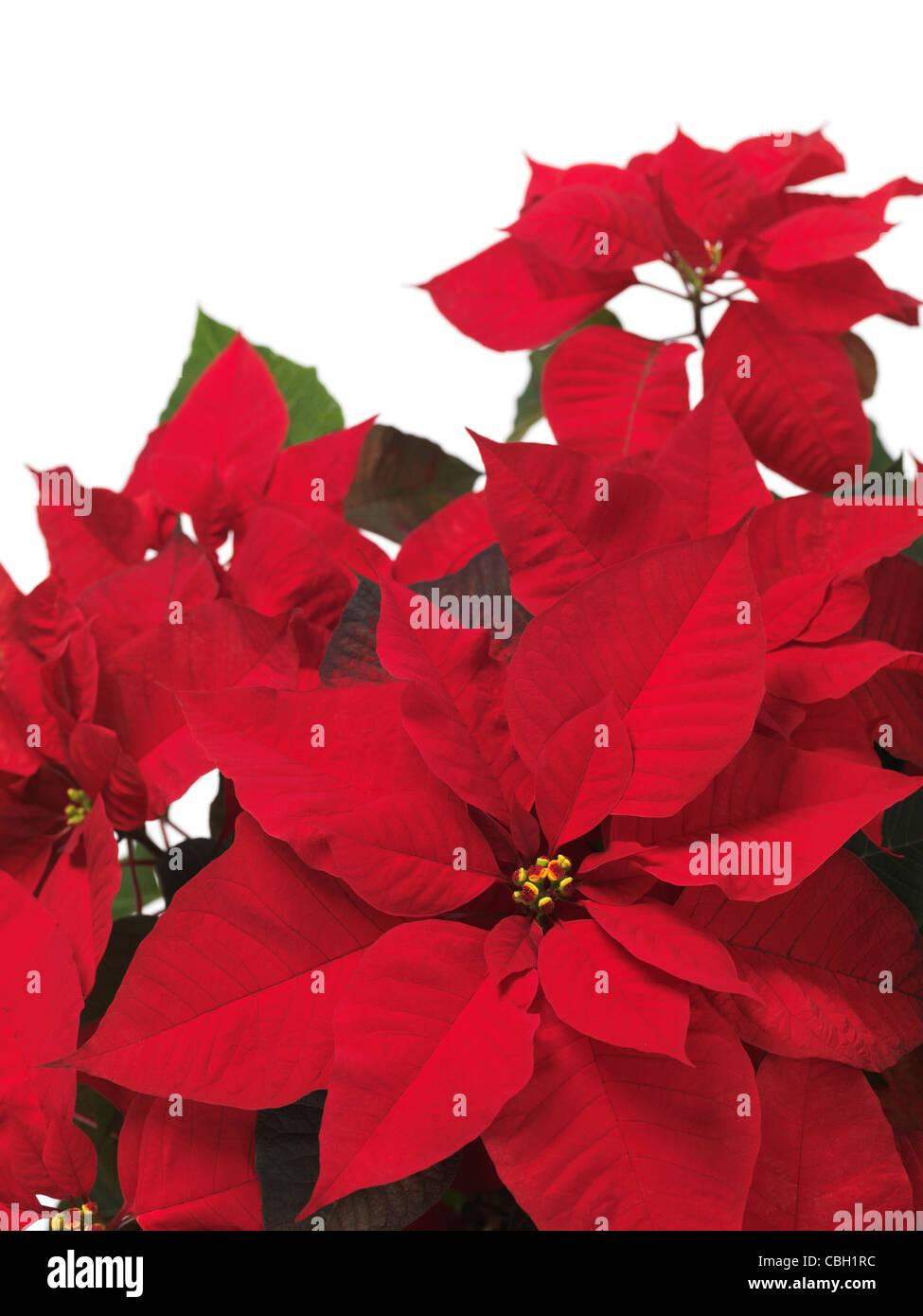 Red Christmas Flower.Poinsettia Red Christmas Flower Leaves On White Background