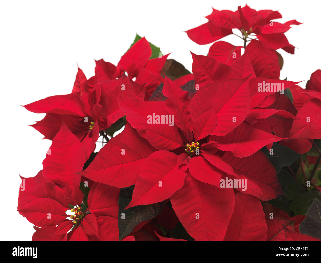 Poinsettia - red Christmas flower leaves isolated on white background - Stock Image