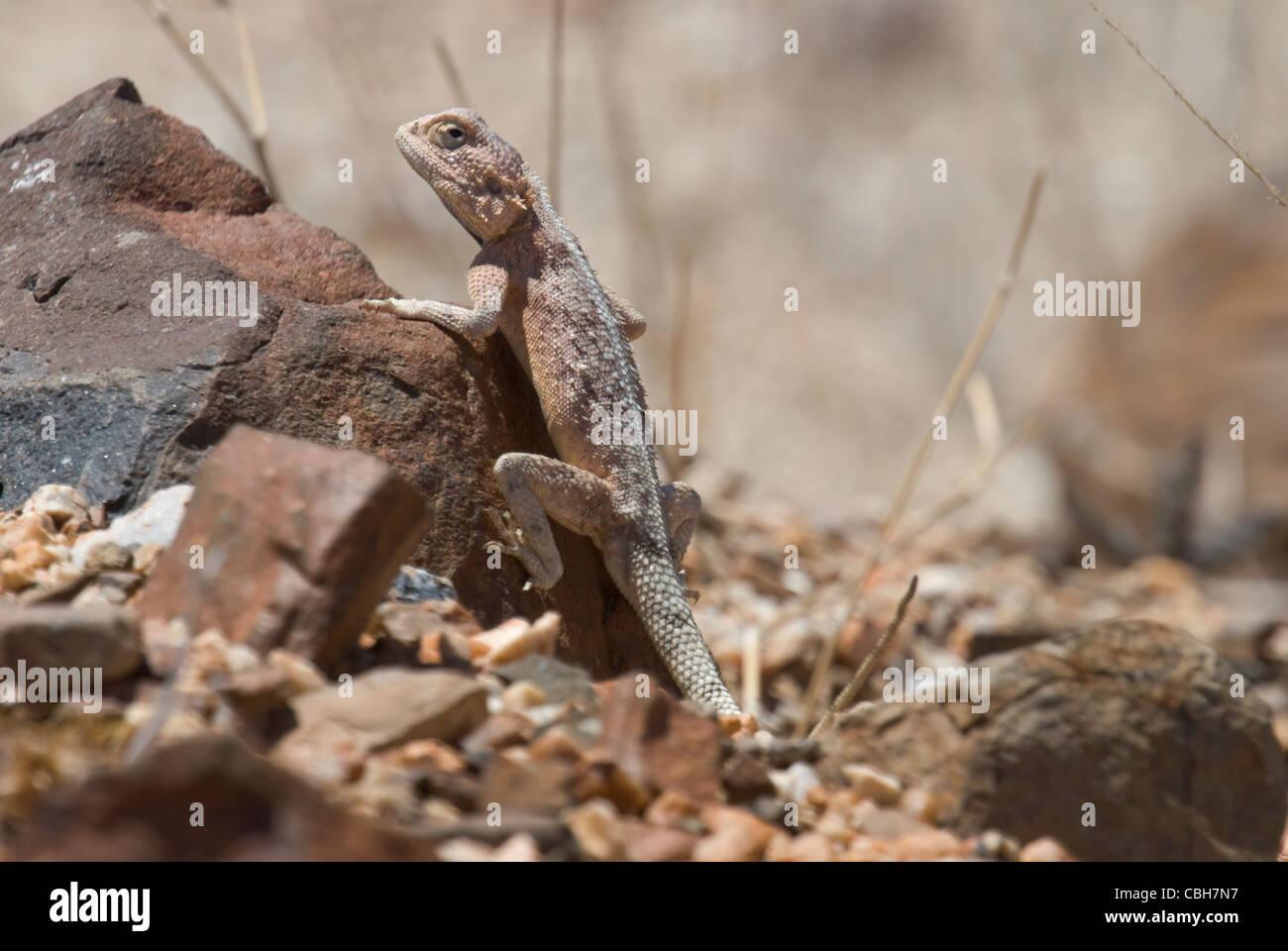 Bushveld Agama lizard climbing rock - Stock Image