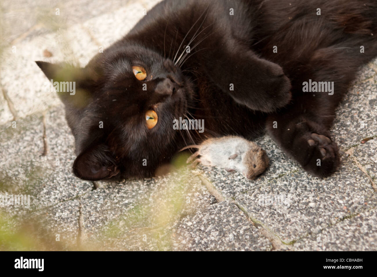 Black cat with freshly hunted dead mouse - Stock Image
