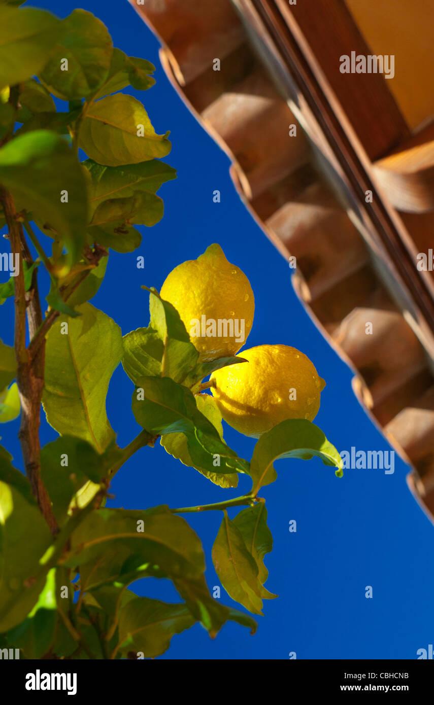 Lemons with fresh rain drops ripening on lemon tree by Spanish Finca farmhouse Mallorca Spain - Stock Image