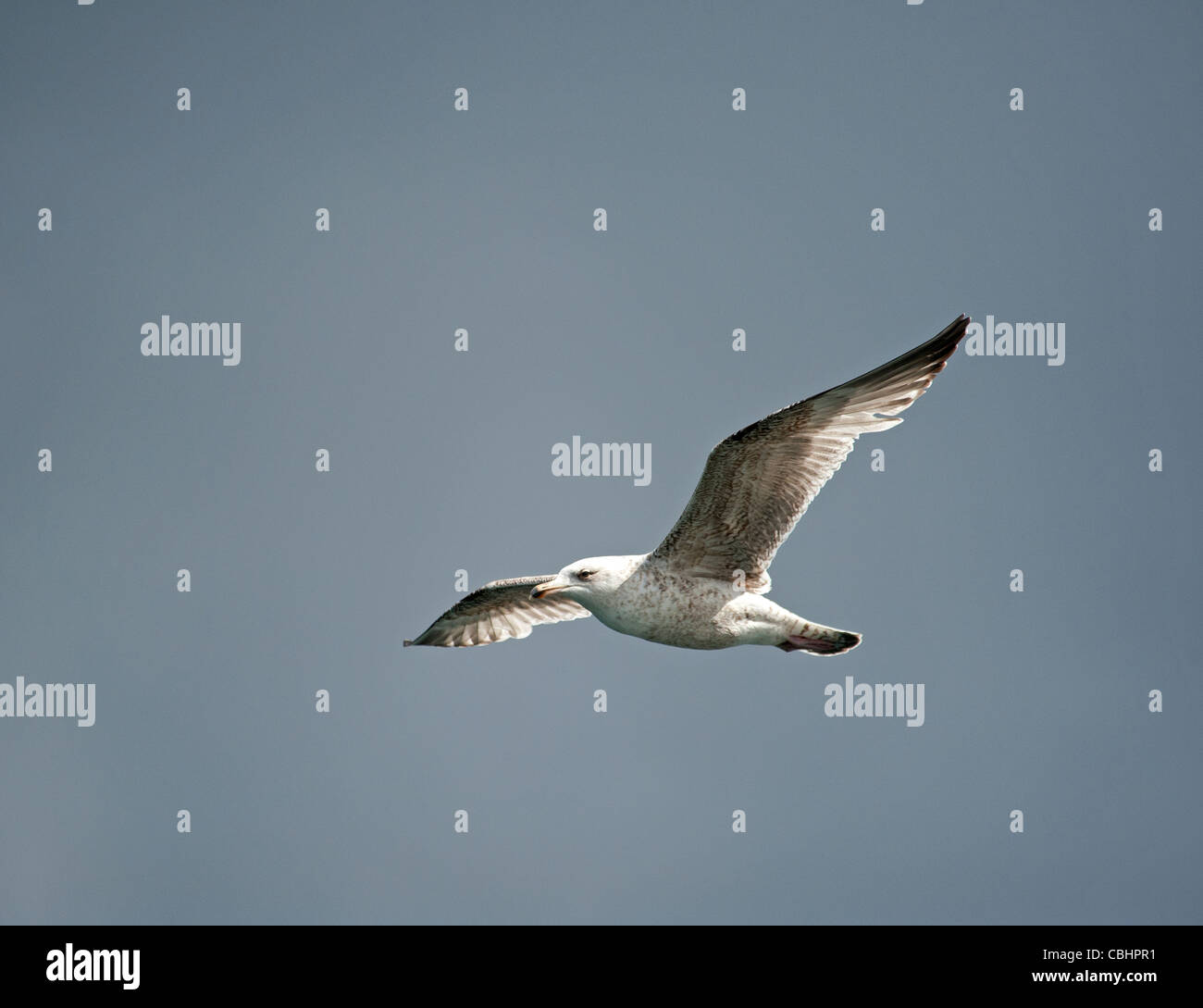 Young Herring Gull follows a fishing boat in search of food. SCO 7796 - Stock Image