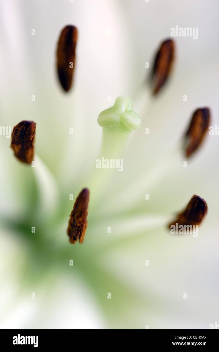 Stamens and stigma of white Lily Flower (Lilium genus) - Stock Image