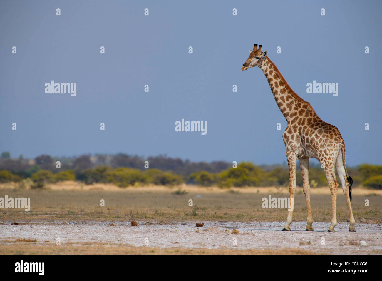 A giraffe (Giraffa camelopardalis) captured on one of the salt pans in Nxai Pan National Park, Botswana - Stock Image
