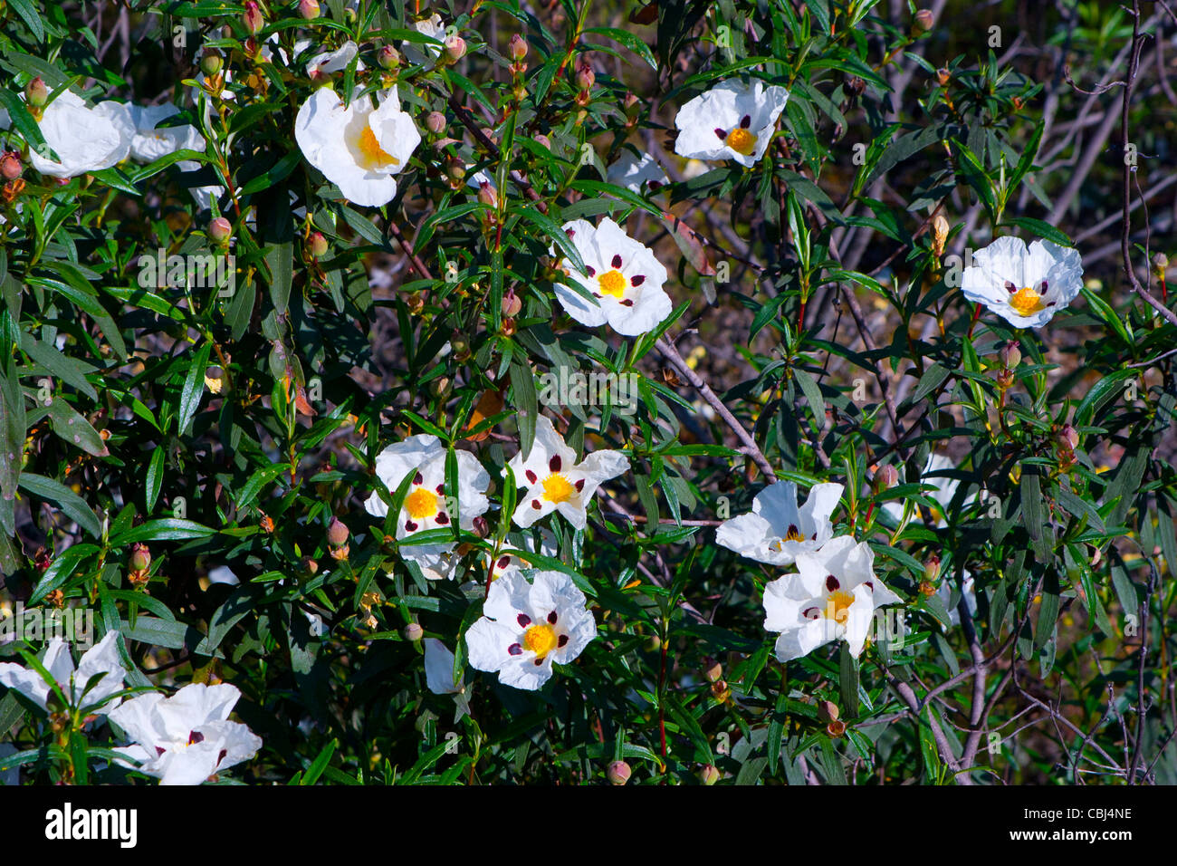 Gum Ladanum, Gum Ladanum Brown-eyed or Rockrose sticky shrub (Cistus ladanifer) flowers. - Stock Image