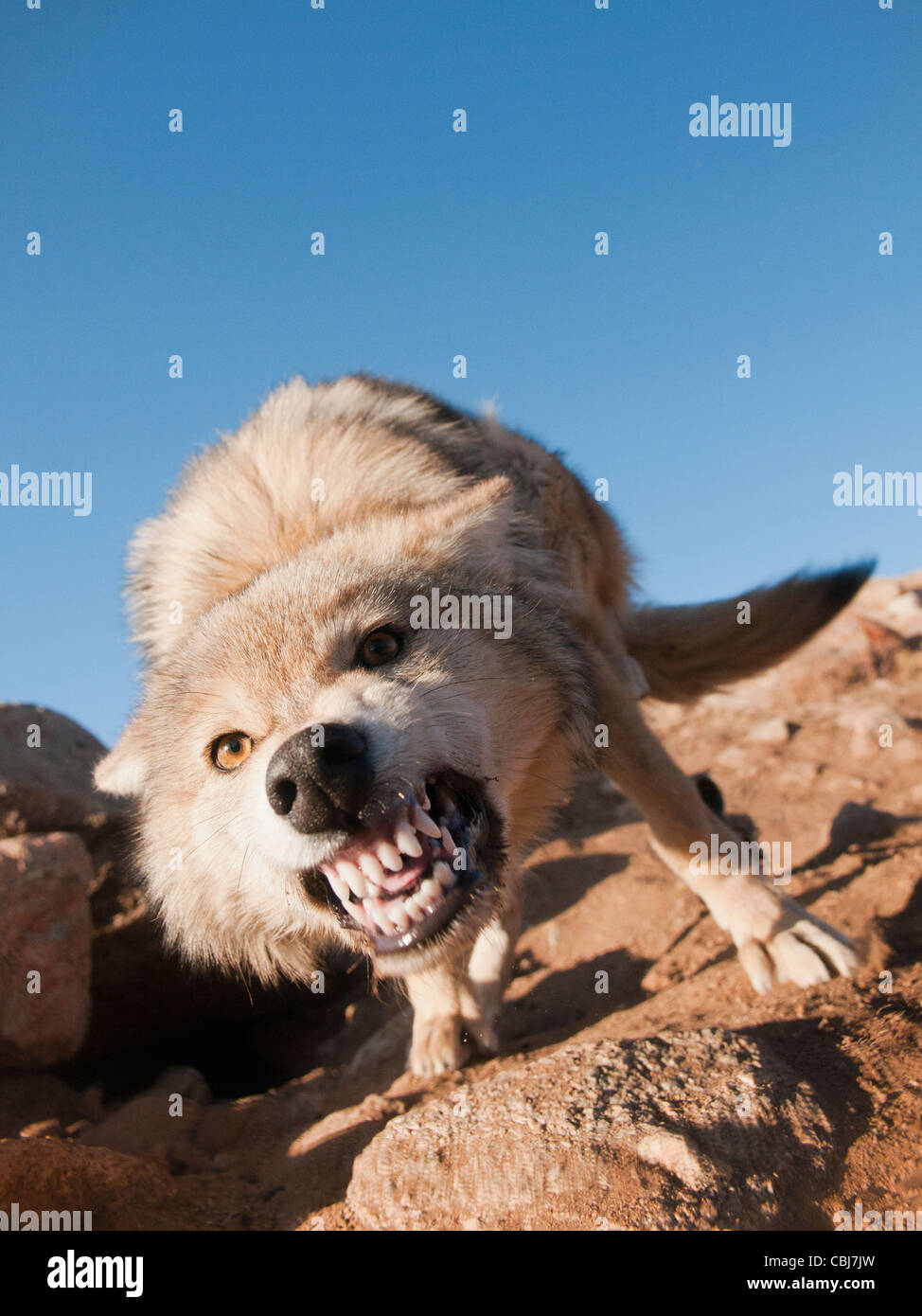 wild snarling wolf (canis lupis) in the Altai Region of Bayan-Ölgii in Western Mongolia - Stock Image