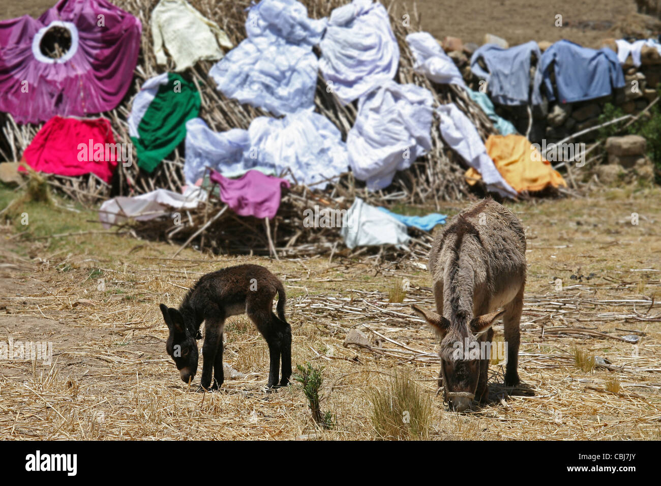 Laundry drying in the sun and donkeys grazing on the island Isla del Sol, Bolivia - Stock Image