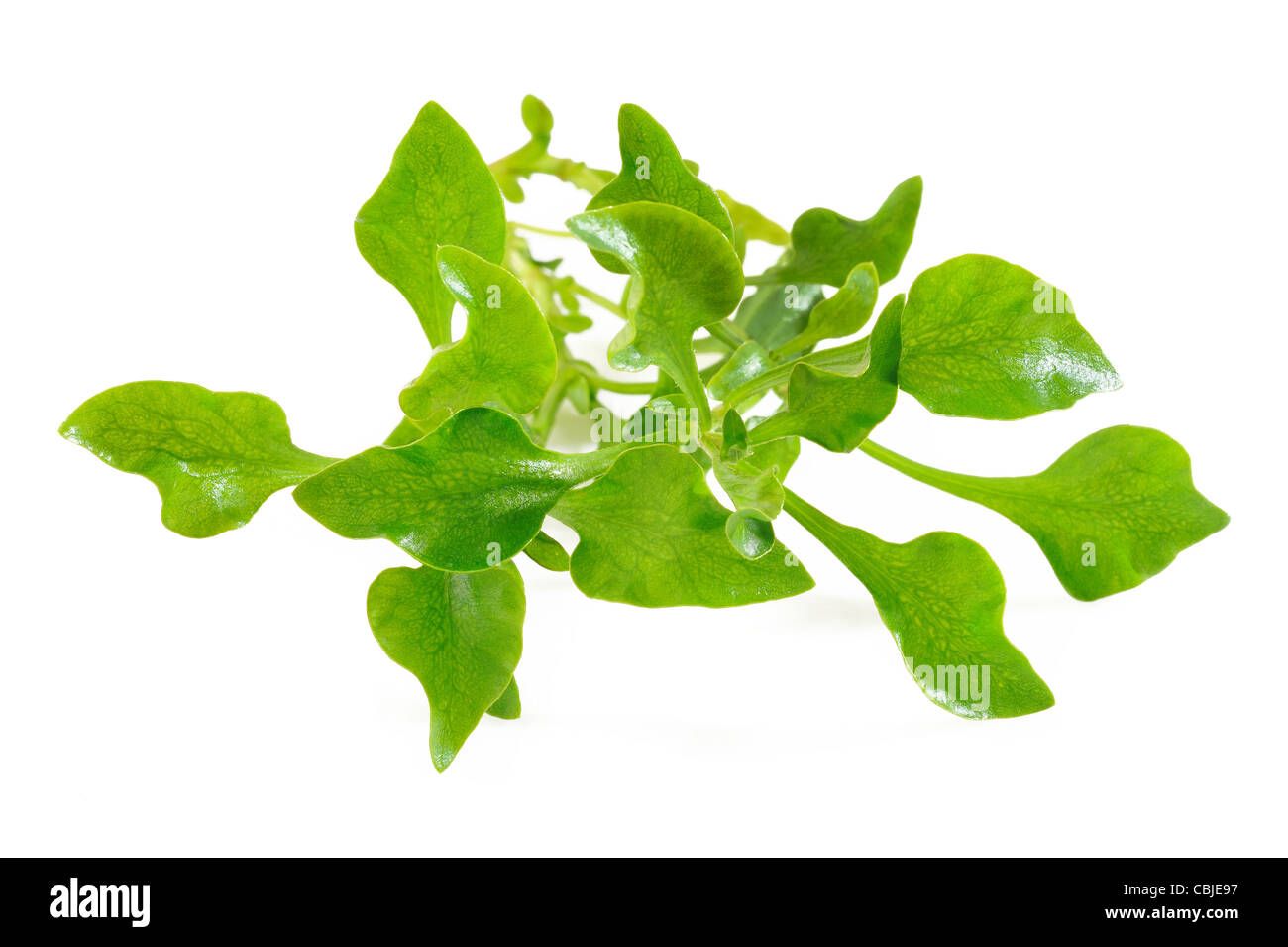 watercress on white background Stock Photo