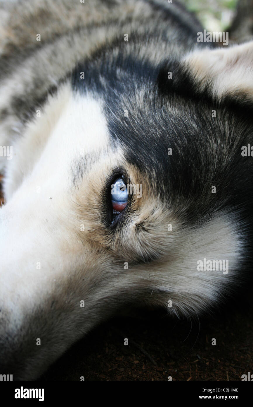resting husky dog looks up with one blue eye - Stock Image