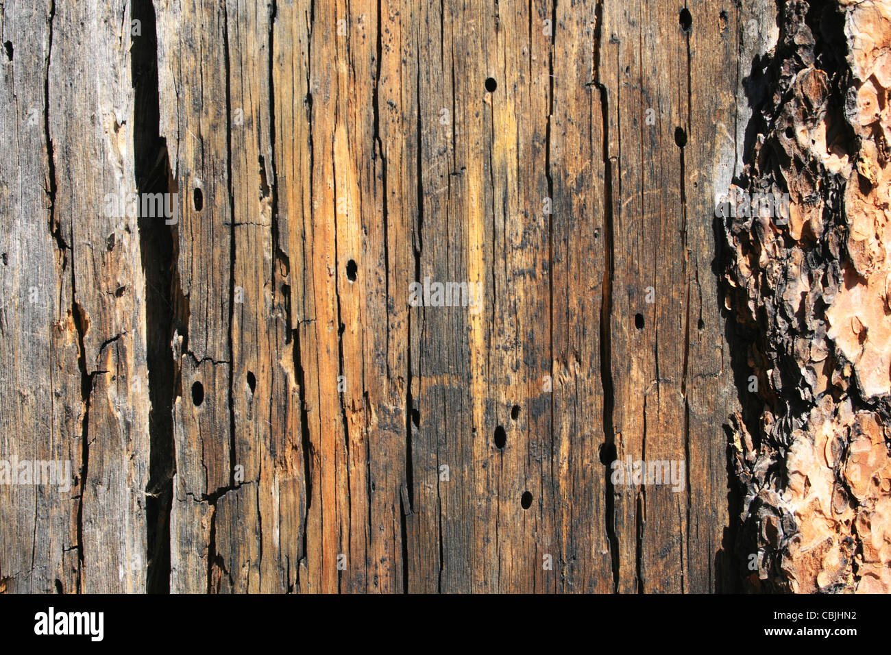 splitting dead pine tree trunk detail with insect boring and bark - Stock Image