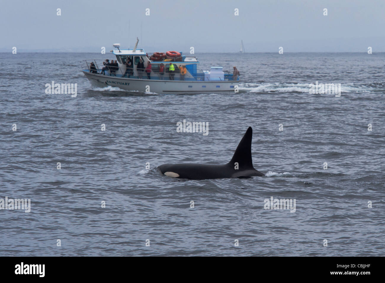 Transient Killer Whale/Orca (Orcinus orca). Large male surfacing in front of Whale Watching boat. Monterey, California. - Stock Image