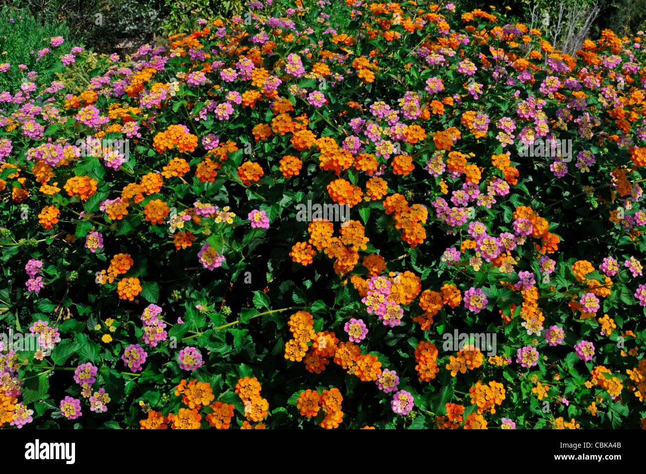 A colourful border detail of Lantana camara - Stock Image
