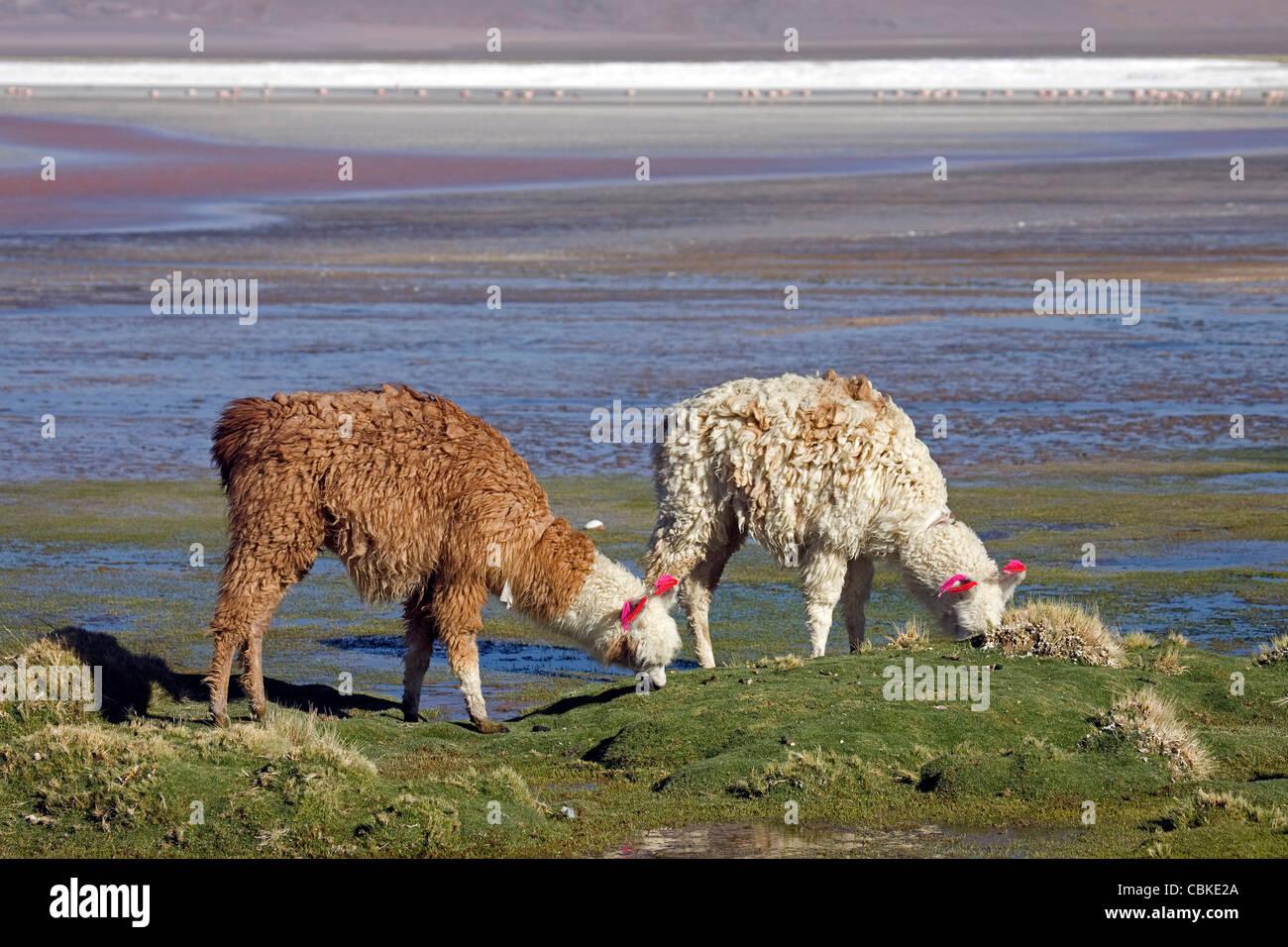Two Llamas (Lama glama) with ear tassels on shoreline of salt lake Laguna Colorada on the Altiplano, Bolivia - Stock Image