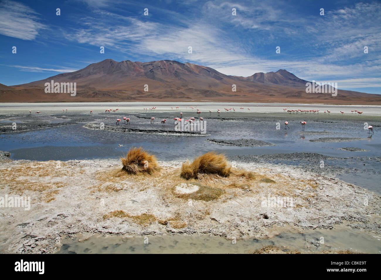 Puna / James's Flamingos (Phoenicoparrus jamesi) in the salt lake Laguna Hedionda on the Altiplano, Bolivia Stock Photo