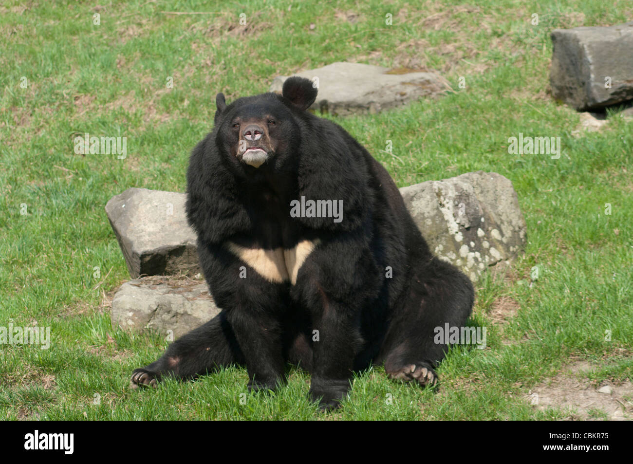 Himalayan bear sitting in the grass among the rocks - Stock Image
