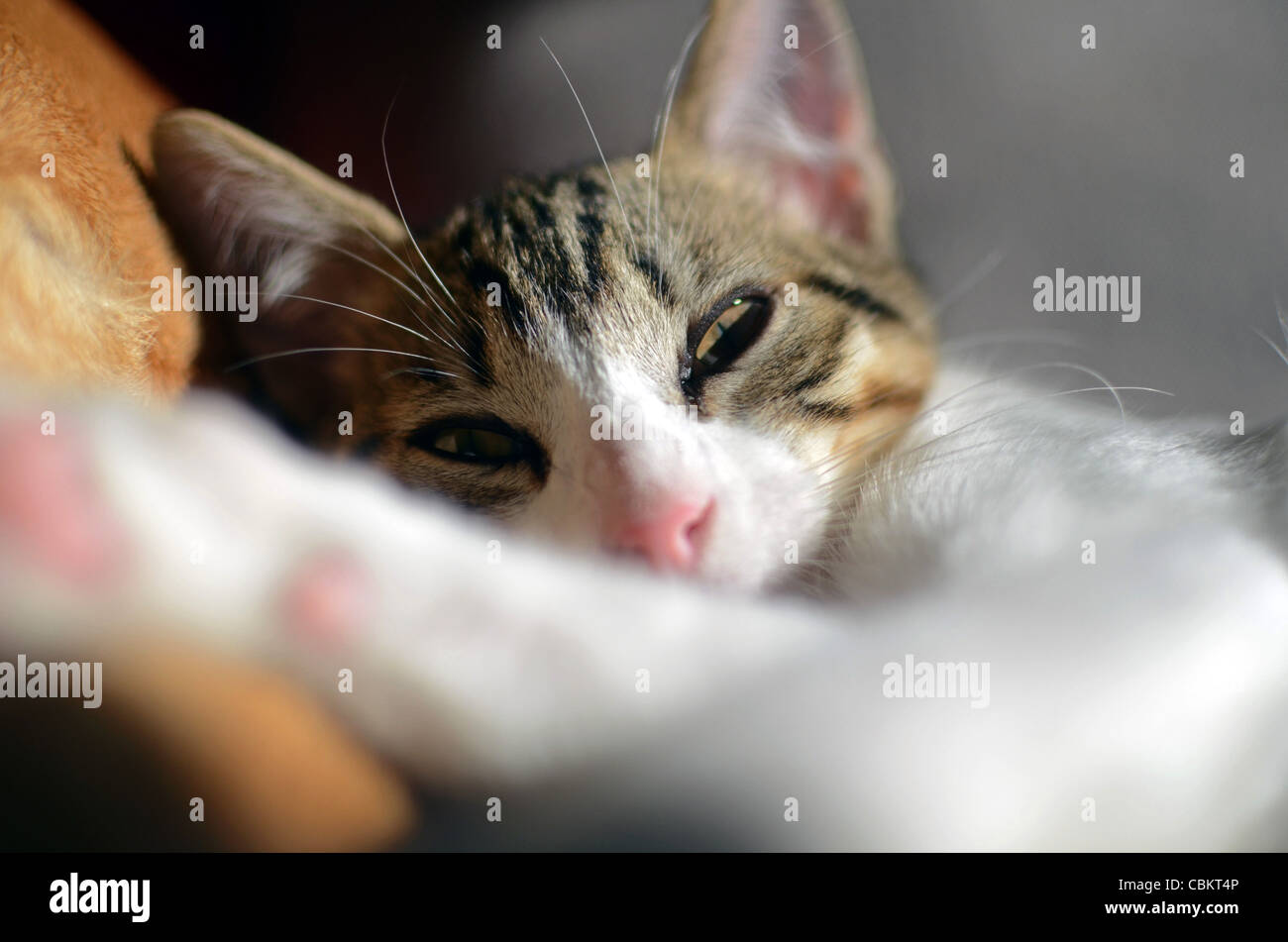 Cute kitten at home - Stock Image