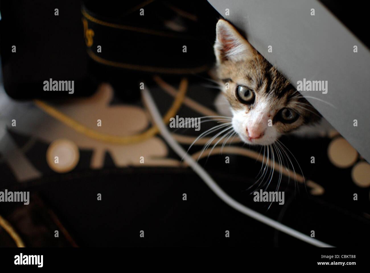Hidden few weeks old kitten - Stock Image