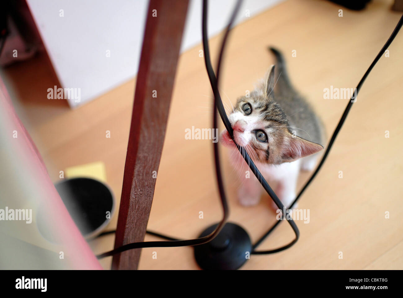 Cute few weeks old kitten biting lamp cable Stock Photo: 41618096 ...