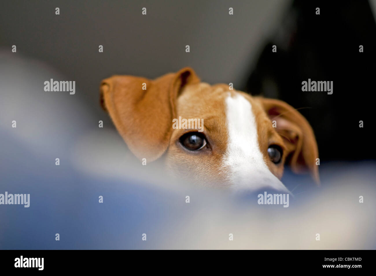 Young brown dog at home - Stock Image