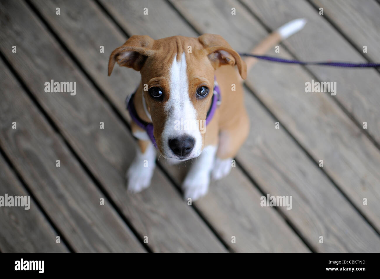 Cute 4 months old dog tied in the door of a beach house - Stock Image