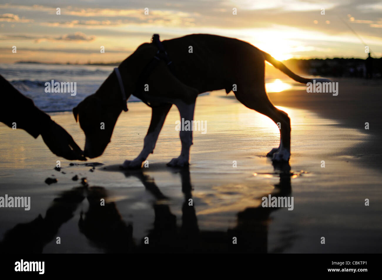 Young woman calling her 4 months old dog on the beach, at sunset - Stock Image