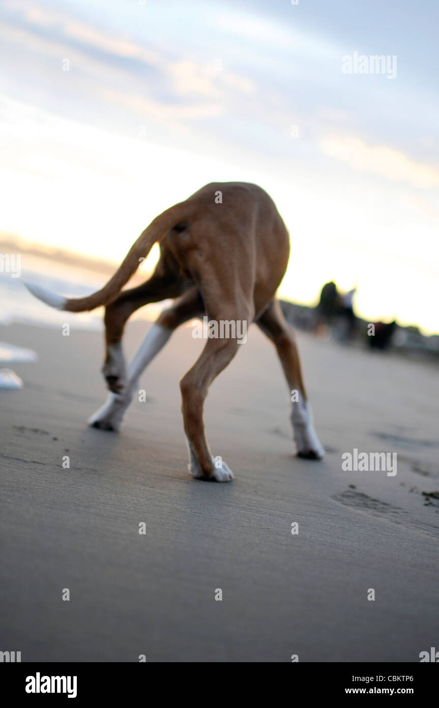 Cute 4 months old dog on the beach, at sunset - Stock Image