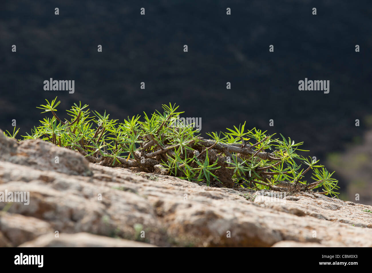 Euphorbia ssp. plant growing on the desolation of the summit of volcano Caldera Blanca in Lanzarote, Canary Islands, - Stock Image