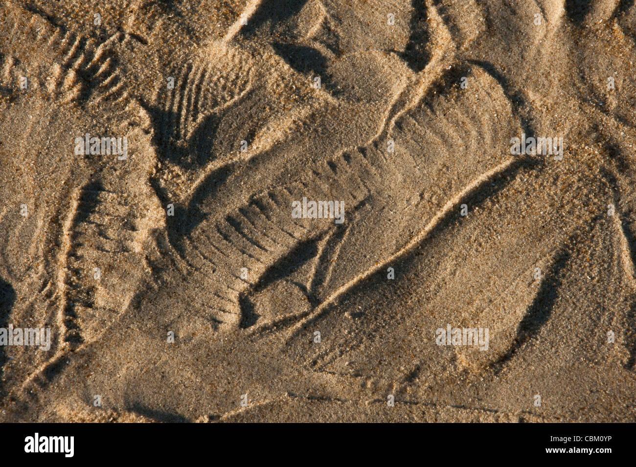 Black-tailed Rattlesnake Tracks (Crotalus molossus), Captive. USA Stock Photo