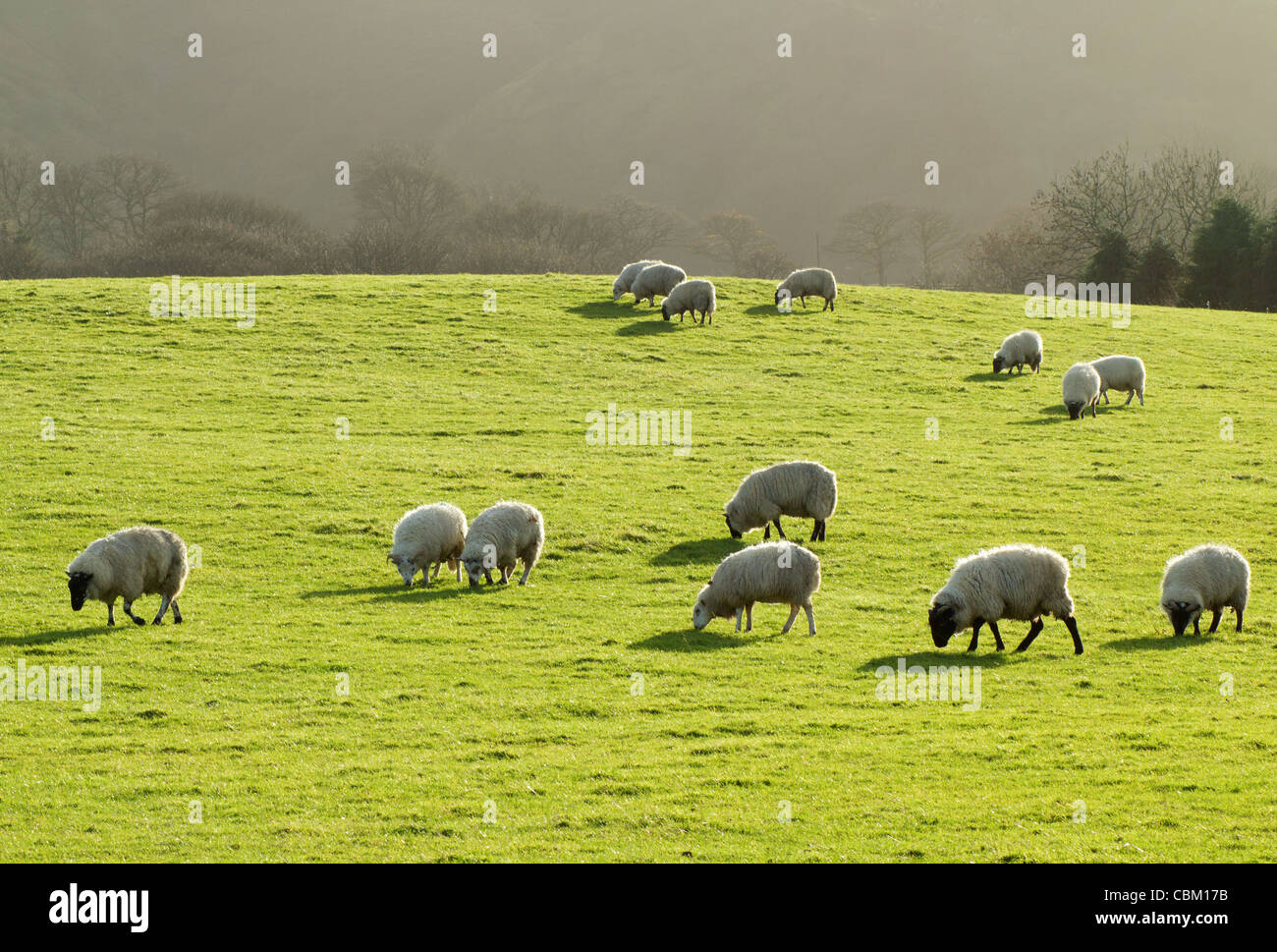 Sheep grazing in a lush green grass field in Wales UK. - Stock Image