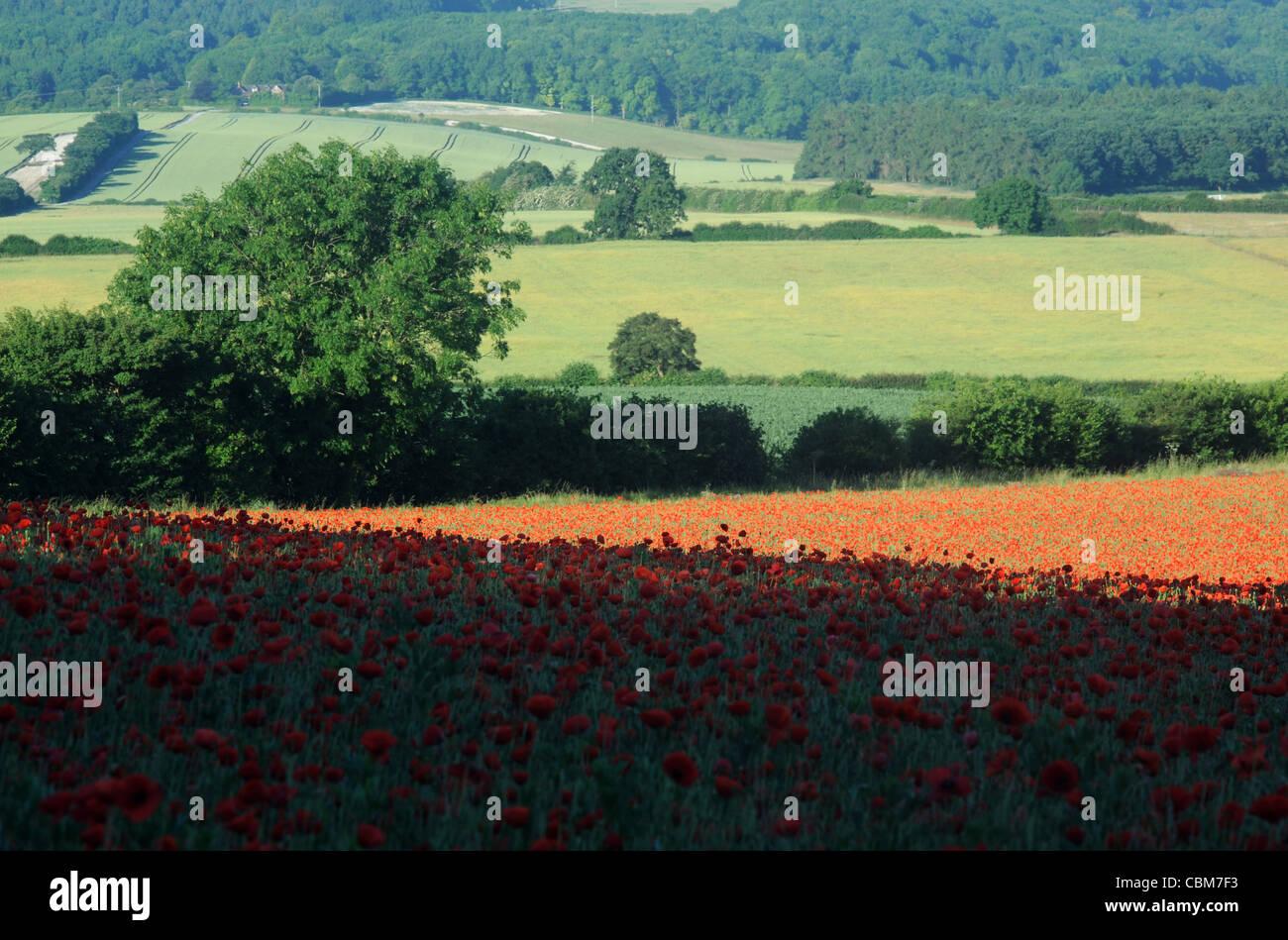 Poppy Field  Chiltern Hills Hertfordshire UK - Stock Image