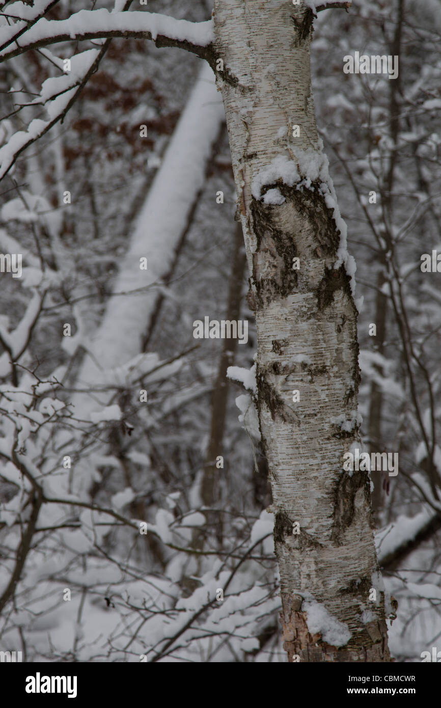 A nature picture of a birch tree close up in a snowy woods after a December snowstorm in Rhinelander Wisconsin. Stock Photo