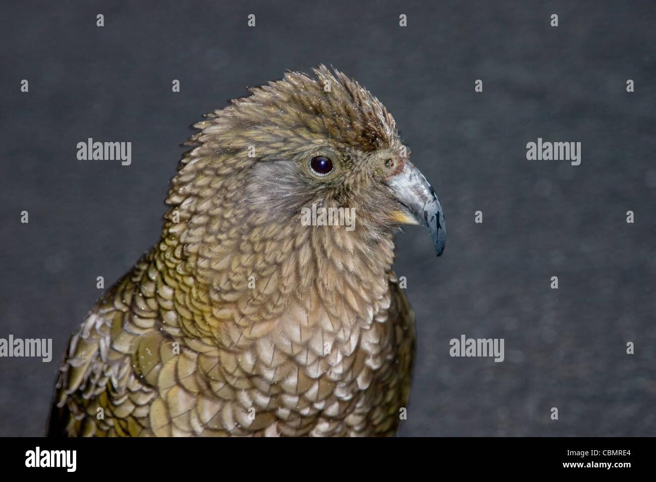 New Zealand kea mountain parrot closeup portrait Stock Photo