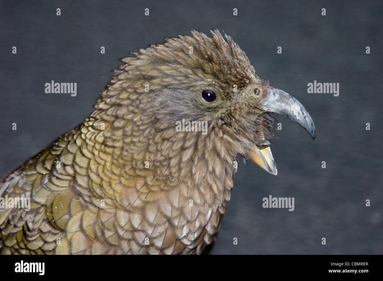New Zealand kea mountain parrot closeup portrait with beak open Stock Photo