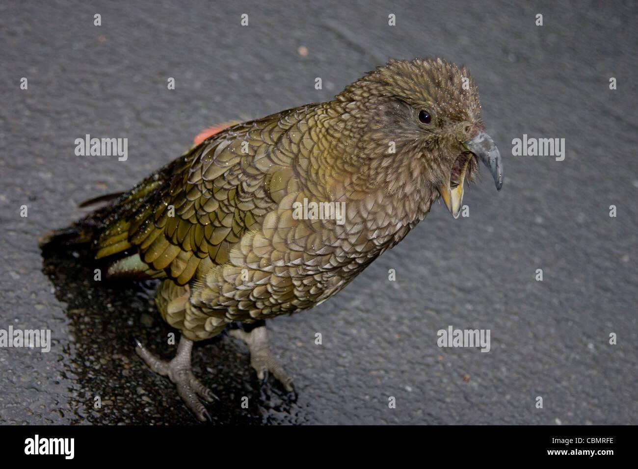 New Zealand kea mountain parrot standing with beak open Stock Photo