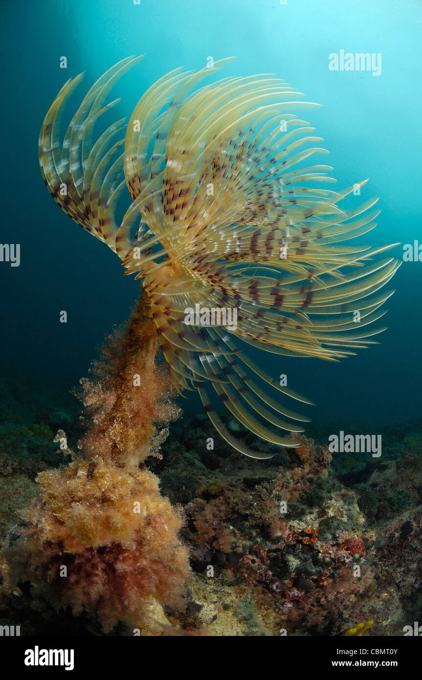 Feather Duster Worm, Spirographis spallanzani, Piran, Adriatic Sea, Slovenia Stock Photo